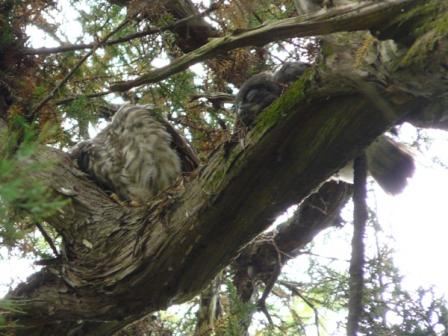 アオバズクの幼鳥たち 7