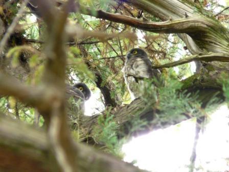 アオバズクの幼鳥たち 8