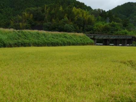松野町の水田