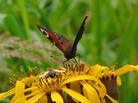 池の平湿原 マルバダケブキ&クジャクチョウ 2