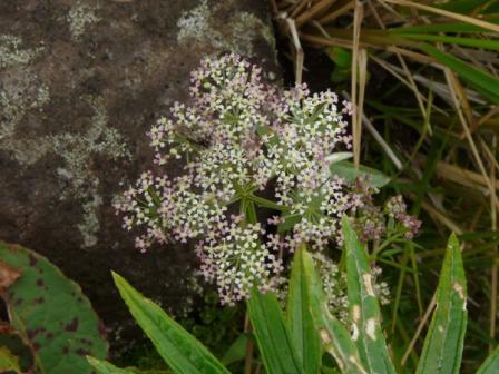 池の平湿原 セリ科の花