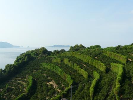 興居島 みかん畑と防風林