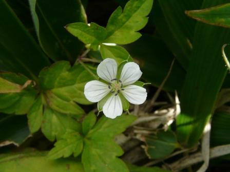 四国カルスト ゲンノショウコ 2 (白花)