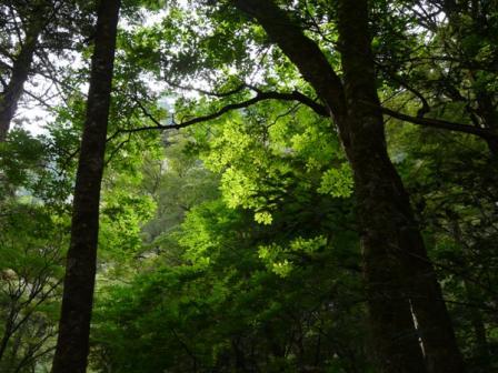 面河渓 7  緑の木々