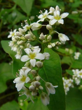 中山町 そばの花 1