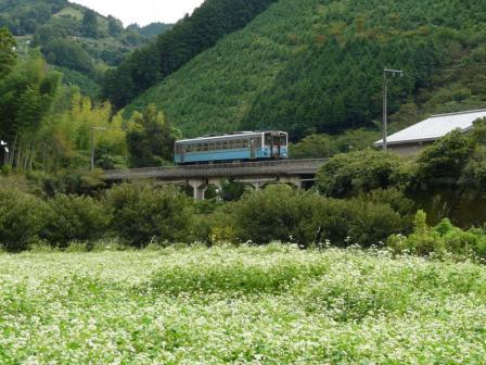 中山町 そば畑と列車 (キハ54形)