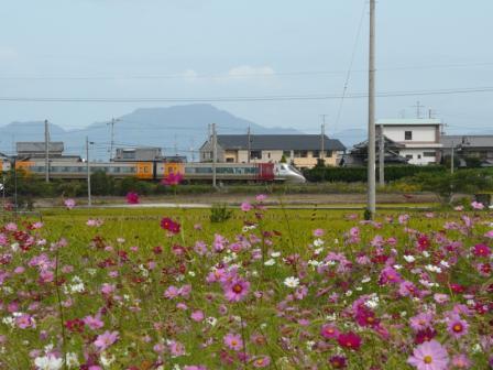 浅海原 コスモス & 8000系特急電車 1