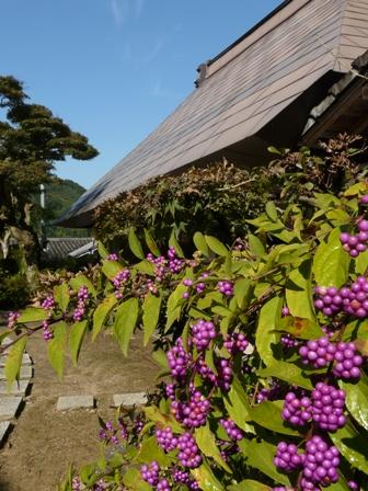 惣河内神社 コムラサキの実 3