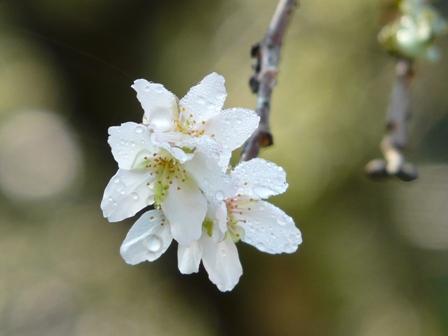 惣河内神社 百日桜 3