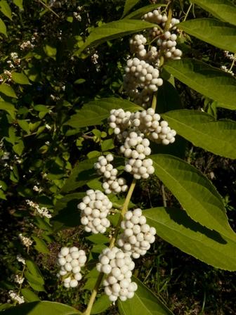 惣河内神社 コムラサキの白実種 1