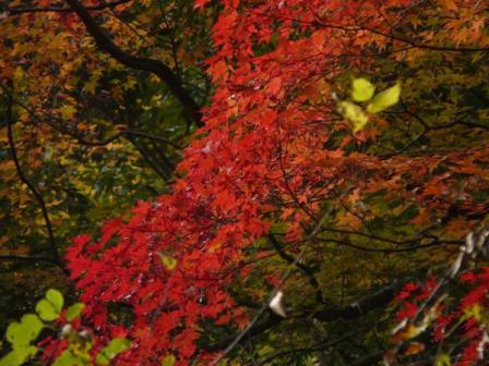 面河渓 紅葉 11