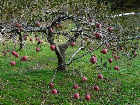 久万高原ふるさと旅行村 りんご園 2