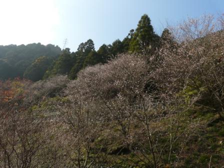 マイントピア別子 冬桜 1
