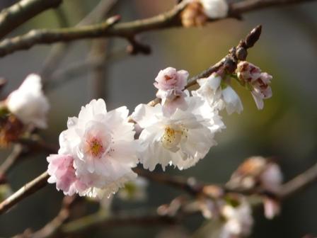マイントピア別子 冬桜 3