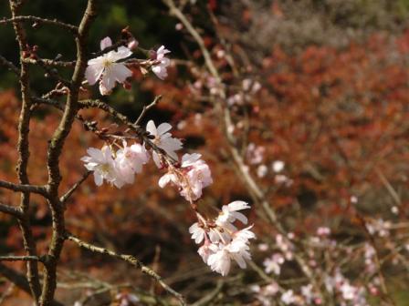 マイントピア別子 冬桜 2