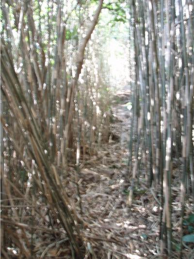 城山西南カンテへのアプローチの竹林