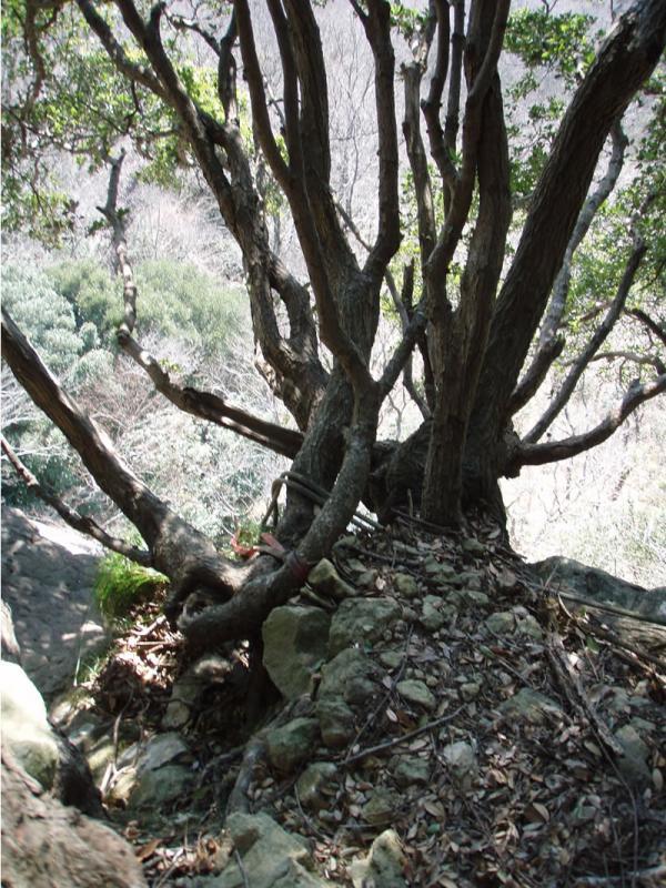 ラズベリーフェイスへの下降点の木