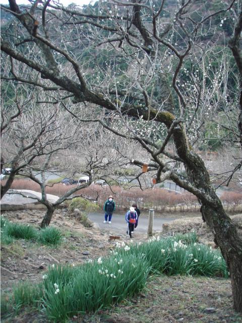 湯河原幕山の梅と水仙1月末