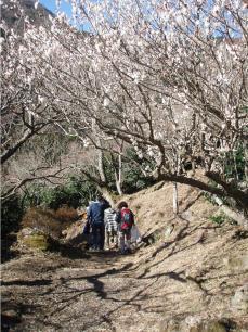 湯河原幕岩環境保全活動は梅の花の下でごみ拾い