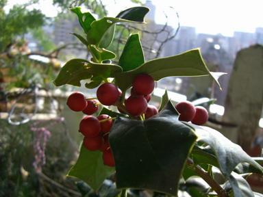 クリスマスホーリー