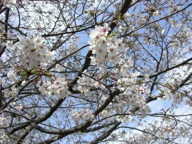 能古島の桜