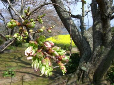 大島桜の蕾