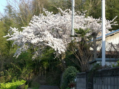 桜・・樹齢40年