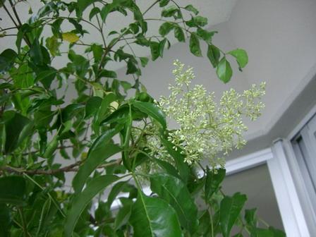 トネリコの花