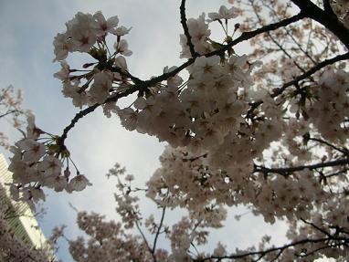 桜・テレビ塔1