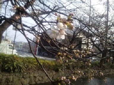 10'桜-1