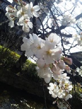 10'桜-2