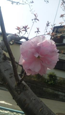 10'桜-7