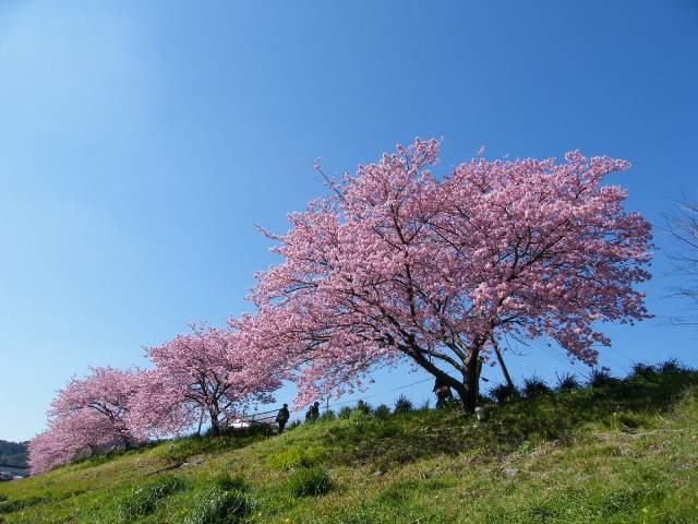 みなみの桜-02