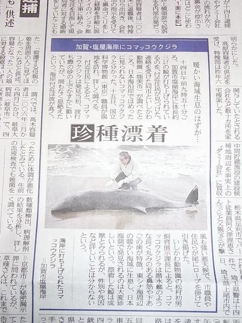 コマッコウクジラ