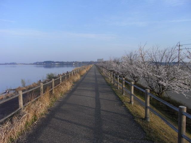 桜 柴山潟