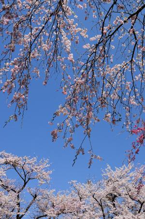 桜1 YS0_3268