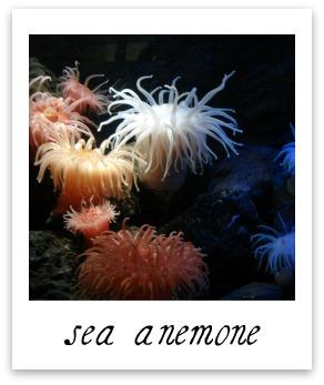 sea amemone