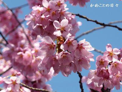 P1170671-sakura.jpg