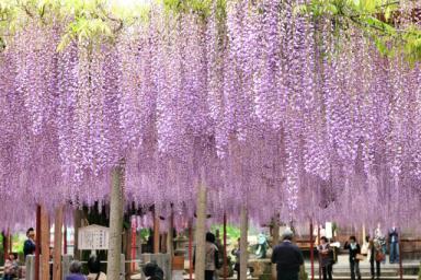 宍粟の千年藤