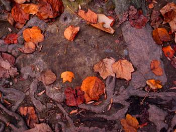落ち葉と木の根