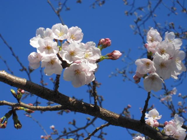 二分咲きの近所の桜
