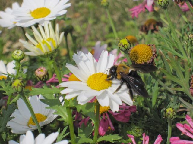 白い花と多分クマバチ