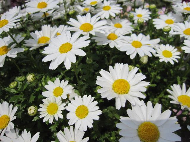 花は白いが・・・