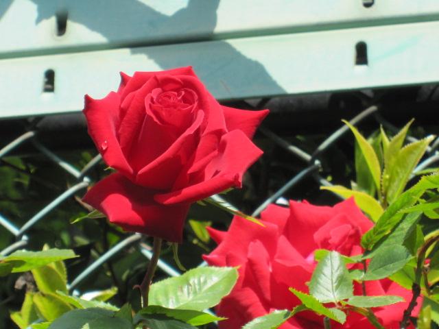 薔薇のバーバラ