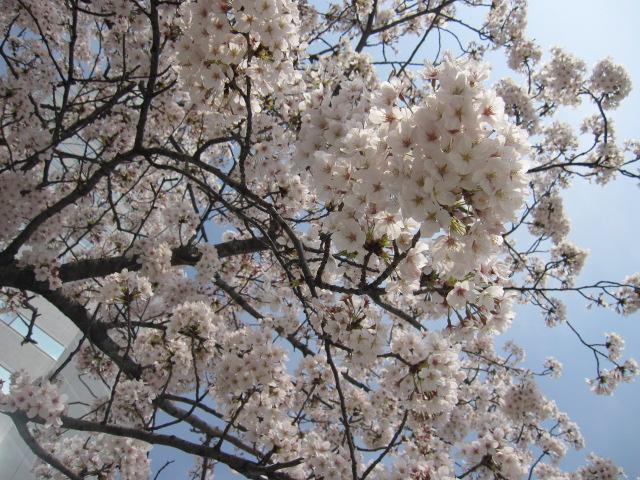 「いま東京って桜満開なんだ」と勘違いさせてみる