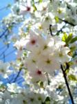 葉桜でも綺麗なバランス。