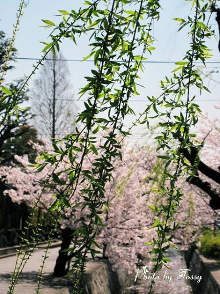 柳の芽吹き