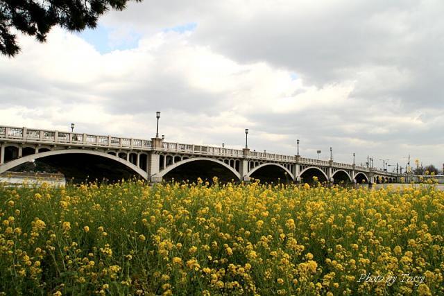 武庫大橋 菜の花