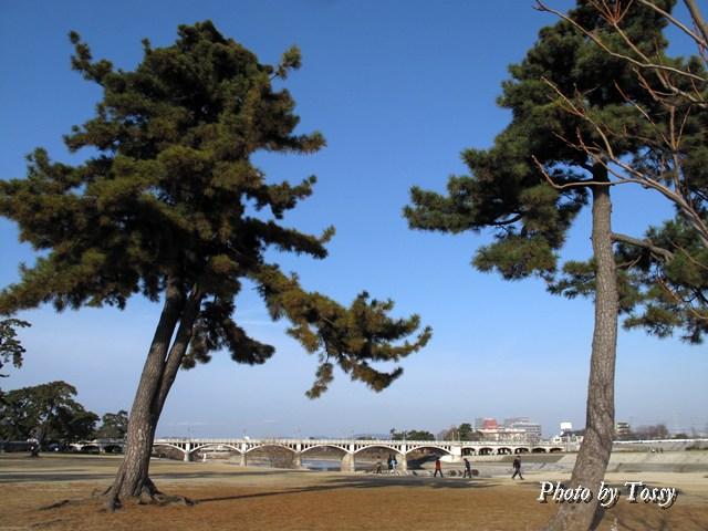 河川敷の大きな松の木