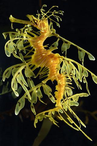 Leafy_sea_dragon.jpg